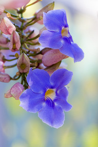 Close up of tropical blue flowers