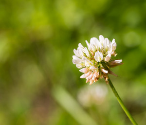 Close up of white clover flower blooming on green background.