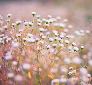 Close up of white wild field flowers