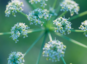 Close up of wild carrot flower. Wild carrot is popular wild weed growing on uncultivated fields and meadows.