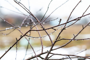 Close up of withered tree branch with water droplets in rainy day