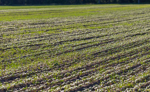 Close up of young cereal sprouts on field. Background of green sprouted cereal plants growing on field