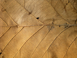 Close_up_dry_leaf
