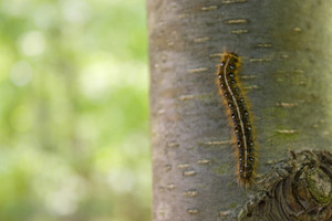 Closeup of a caterpillar climbing up the side of a tree in the woods.
