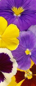 Closeup Of Colourful Viola Tricolor