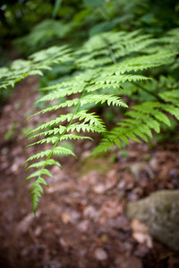 Closeup of some fully grown forest fern leaves in the middle of the woods.  Shallow depth of field.