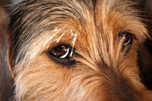 Closeup on the eyes of a young mixed dog about one year old.  Shallow depth of field.