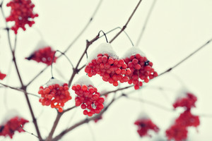 Cluster of Viburnum covered with first snow