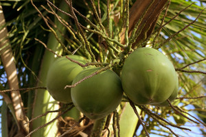 Coconut-fruits