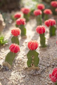 Colorful gymnocalycium Cactus garden
