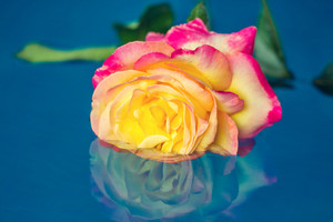 Colorful rose in a water