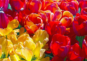 Colorful Tulip Flowers 157