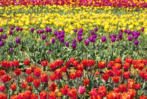 Colorful Tulip Flowers Farm 156