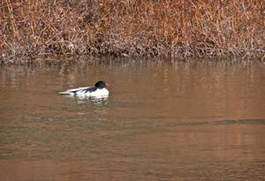 Common Merganser Duck