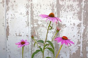 Cone Flowers And Barn Wood
