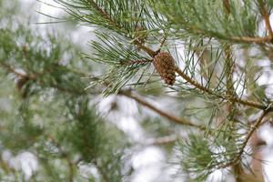 Cones on pine tree branch
