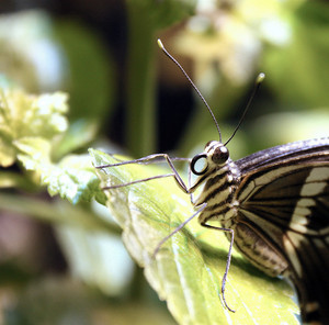 Constantine Swallowtail