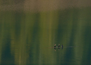 Cormorants On Water