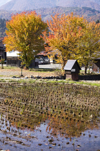 Cottage and rice field in small village shirakawa-go japan. autumn season