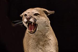 Cougar Animal 158