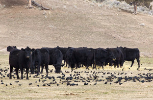 Cow And Blackbirds