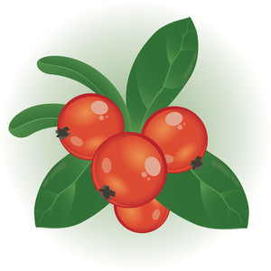 Cowberry. Vector.