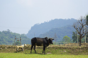 Cows and Farmer Hut in Mae Klang Luang, agricultural countryside in the North of Thailand