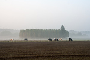 Cows at dawn in mist walking in golden light
