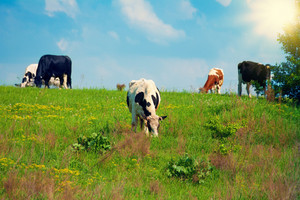Cows graze in the meadow