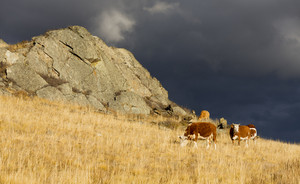 Cows grazing on a sunlit hillside under a stormy sky