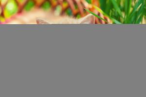 Creamy kitten lying in a basket on a green lawn