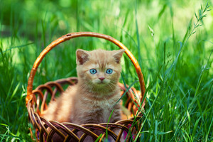 Creamy kitten sitting in a basket on a green lawn
