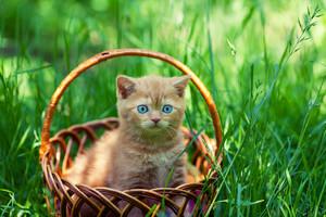 Creamy kitten sitting in a basket on a green lawn
