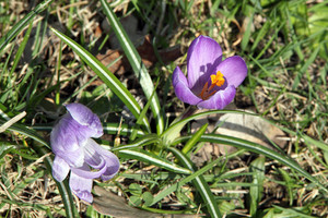 Crocus Flowers Blooming In Spring