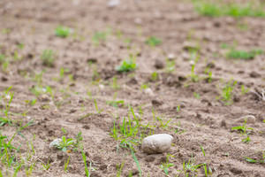 Cultivated field with rocks. close up of plowed and sown field