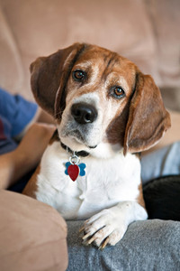 Cute beagle dog looking at the viewer.  Shallow depth of field.