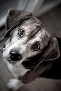 Cute beagle dog looking at the viewer with muted color.  Shallow depth of field.