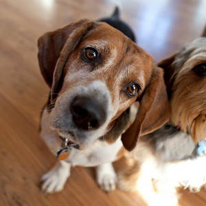 Cute beagle dog sitting down next to another dog and looking at the viewer.  Shallow depth of field.
