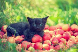 Cute black kitten in the garden lying on red apples