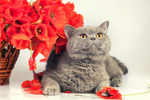 Cute british shorthair cat with poppies