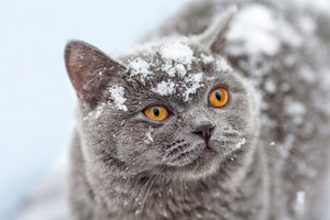 Cute cat covered with snow walking outdoor in winter