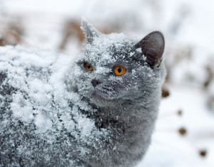 Cute cat covered with snow walking outdoors in winter