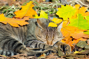 Cute cat lying in the autumn park on the colorful fallen leaves
