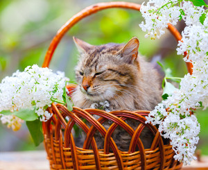 Cute cat relaxing in a basket with white lilac flowers