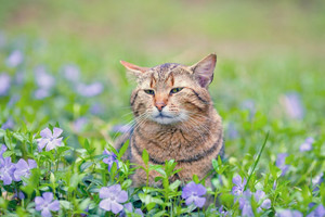 Cute cat walking on the periwinkle lawn