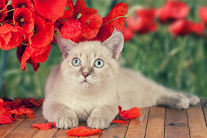 Cute cat with poppies relaxing on wooden platform