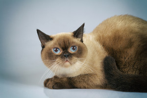 Cute dreaming siamese cat