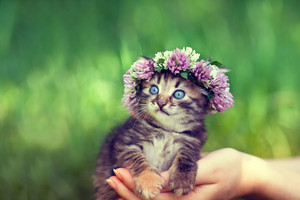 Cute kitten crowned with chaplet in female hands