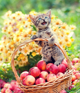 Cute kitten in the basket with apples in the garden