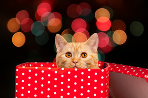 Cute kitten inside gift box against Christmas light